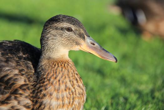 Caerphilly Duck