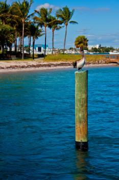 Peanut Island Pelican