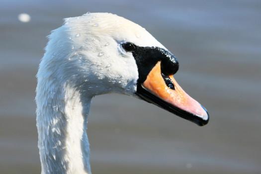 Roath Lake Swan
