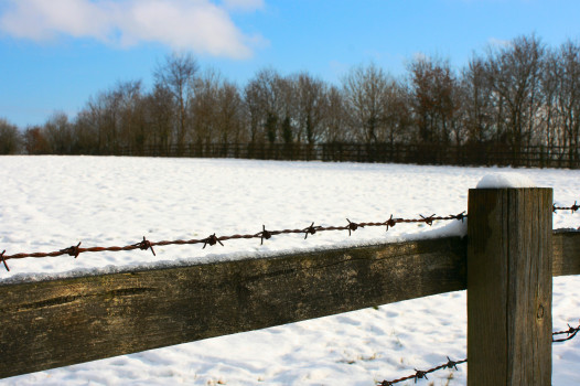 Snowy Barbs