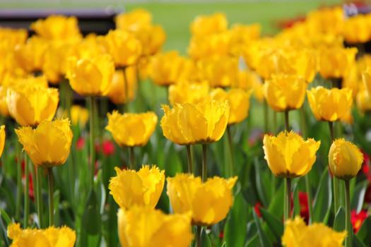 Tulip Tines