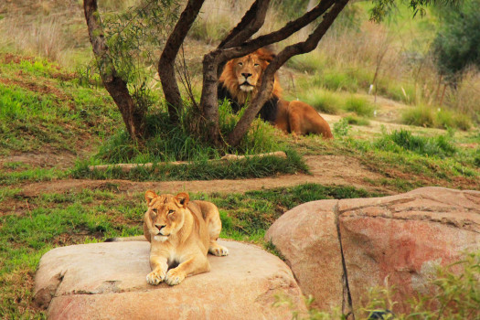 Watchful Lions